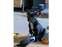 French bulldog - 10 weeks old - ready for his new home!