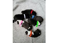 Boston Terriers puppies 2 girls 3 boys left