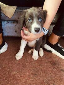10 Week Old Blue Male Border Collie
