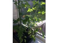 6x Piccolo Cherry Tomato Plants