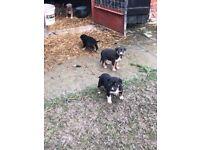 Collie X Lurcher Puppies