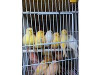 Canary hens for sale