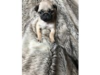 Beautiful KC Registered girl pug Puppy