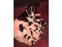Miniature short legged jack Russel puppies