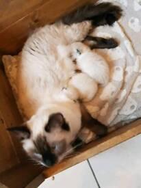Ragdoll kittens only 2