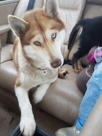 Husky cross puppys for sale