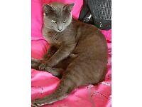 9 MONTH OLD KITTEN BRITISH BLUE X GORGOUS CAT