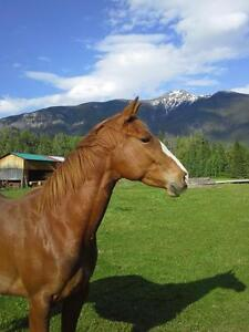 5 year old grade QH mare