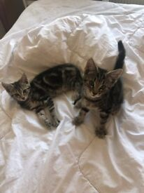 2 Kittens Bengal Cross