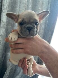 Quality French Bulldogs
