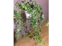 Large English ivy plant with hanging baskets