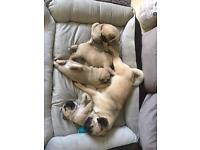 Stunning KC Pug Puppies