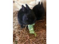 Netherland dwarf baby rabbits ready now