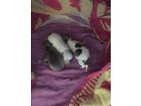 Jackwawa puppies