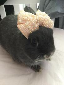 Neverland Dwarf Rabbit For Sale
