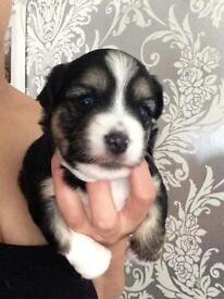 Beautiful terrier cross chihuahua puppies