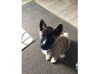 American Akita Puppy 13 week old female