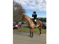 16.1 Allrounder/ competition horse