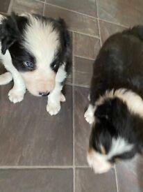 2 boy border collie pups kc registered