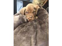 Pedigree Dogue De Bordeaux Puppies
