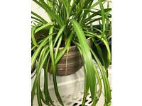 Very large spider plant in concrete pot