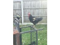 For sale Roosters, Hens and Chicks