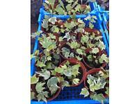 Ivy climbing plants £1 each pot