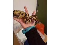 Royal / Ball pythons
