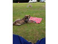 Boxer cross german shepard 5 month old puppy