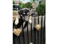 Tibetan Mastiff X Bull Mastiff pups