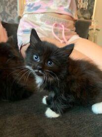 3 fluffy half Persian kittens all girls