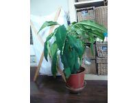 Euphorbia Succulent plant in a plastic pot