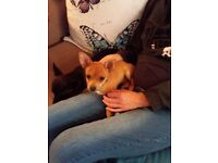 Two Chihuahua dogs one male one female for sale £300