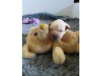 Labrador pups kc registered