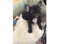 2 french bulldog pups left