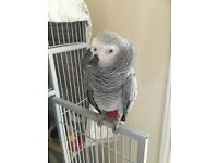 FEMALE AFRICAN GREY CONGO PARROT, WITH LARGE CAGE, 15 YEARS OLD
