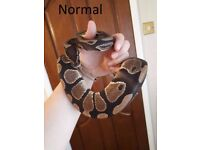 Male Normal Ball/Royal Python