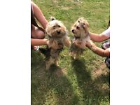 2 beautiful male Yorkshire terrier puppies for sale