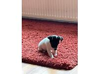 Jack Russell puppy READY NOW