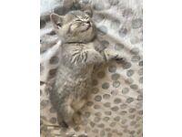Chunky British shorthair tabby kittens