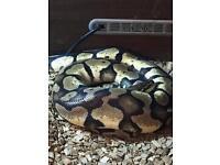 Royal python with full set up