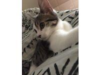 Beautiful 4month Female Kitten