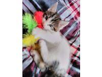 Main Coon cross kittens