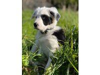 Border Collie Puppies Pup Blue Eye