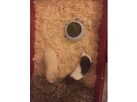 2 x guinea pigs denial one blonde one brown/white