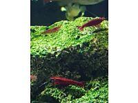 Cherry shrimp for sale