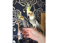 2 Handrared Cockatiels with Cage