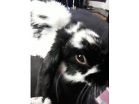 2 baby buns free vaced soayed chiped free dbl hutch 10kg food all syplies toys hay everything new