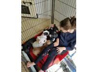 Pedigree French bulldog pups