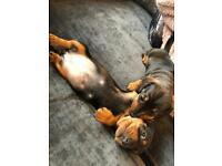 Stunning dachshund puppy forsale
